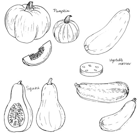 marrow: hand drawn vegetables, pumpkin, squash and vegetable marrow, hand drawn vector illustration