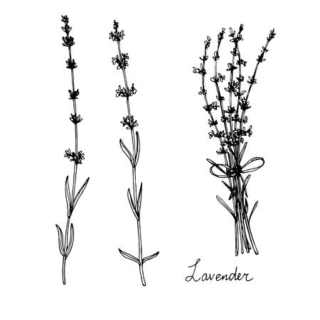 disegnati a mano piante di lavanda, schizzo illustrazione vettoriale Vettoriali