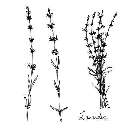 hand drawn lavender plants, sketch vector illustration