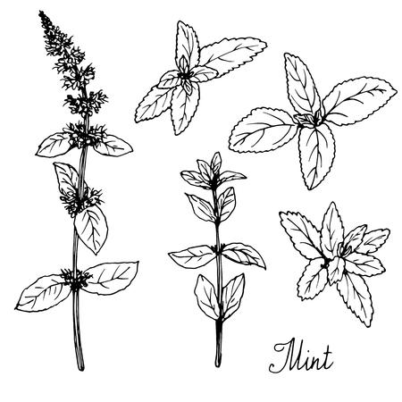 hand drawn mint plants, sketch vector illustration