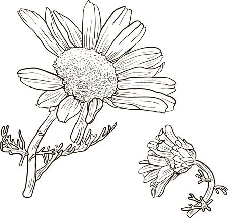 fragrant bouquet: hand drawn chamomile plants with flowers, sketch  vector illustration