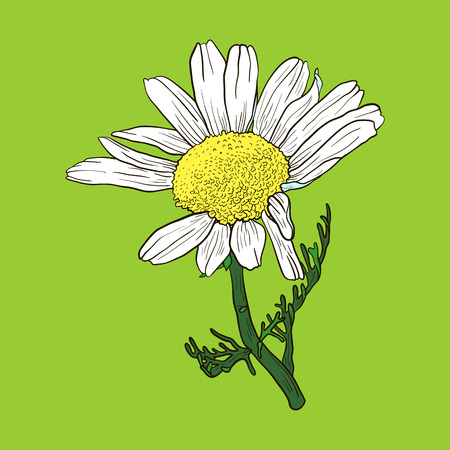 hand drawn chamomile flower, sketch  vector illustration