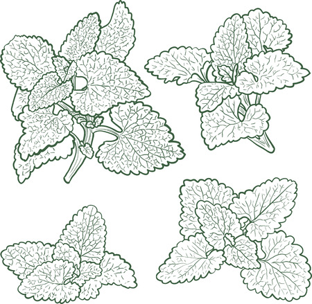flower designs: hand drawn mint plants with leaves, sketch  vector illustration