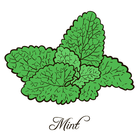fragrant bouquet: hand drawn mint plant with leaves, sketch  vector illustration