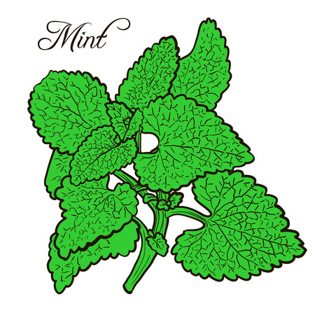 mint: hand drawn mint plant with leaves, sketch  vector illustration