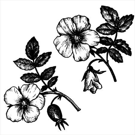 dog rose: dog rose flowers with leaves and buds, hand drawn vintage vector illustration Illustration
