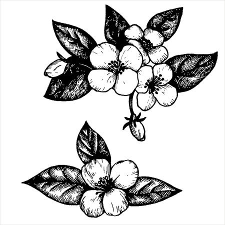 dessin fleur: des fleurs et des feuilles de jasmin, tir� par la main vecteur vintage illustration
