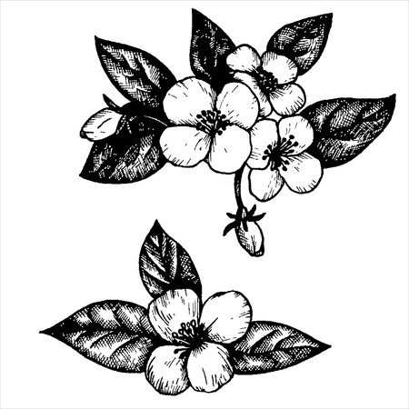 flower drawing: jasmine flowers and leaves, hand drawn vintage vector illustration