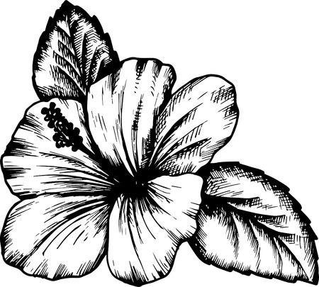hibiscus flower, hand drawn vintage vector illustration