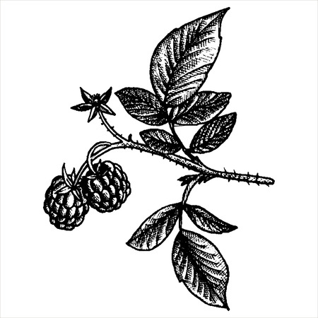 cranberry illustration: hand drawn raspberry branch with berry,flower and leaves, vintage vector illustration Illustration