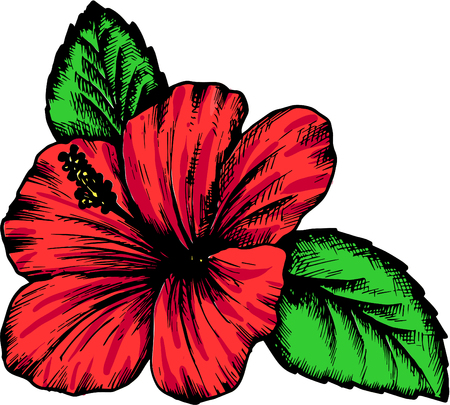 isolated flower: hibiscus flower, hand drawn vintage vector illustration