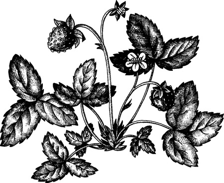 shrub: strawberry shrub with berries, flower and leaves, vintage hand drawn vector illustration