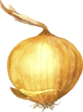 unpeeled: isolated watercolor onion, hand drawn watercolor vector illustration