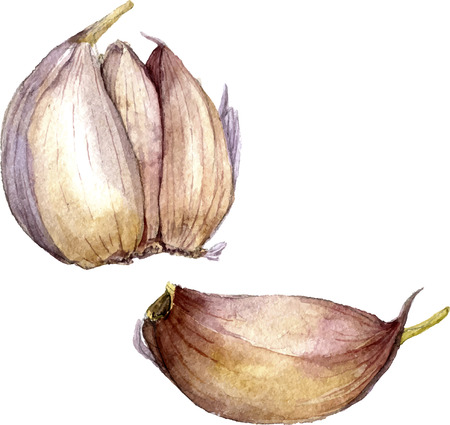 vector watercolor drwaing garlic isolated at white background, hand drawn watercolor vector illustration