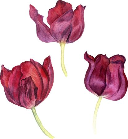 tulips isolated on white background: watercolor red flowers of tulips, hand drawn isolated flower at white background, artistic vector illustration