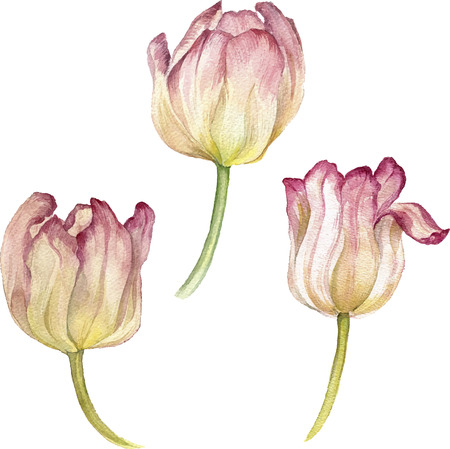 tulips isolated on white background: watercolor white and pink flowers of tulips, hand drawn isolated flower at white background, artistic vector illustration