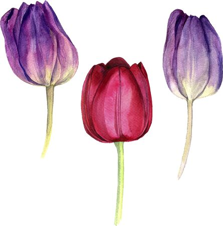 tulips isolated on white background: watercolor purple and pink flowers of tulips, hand drawn isolated flower at white background, artistic vector illustration