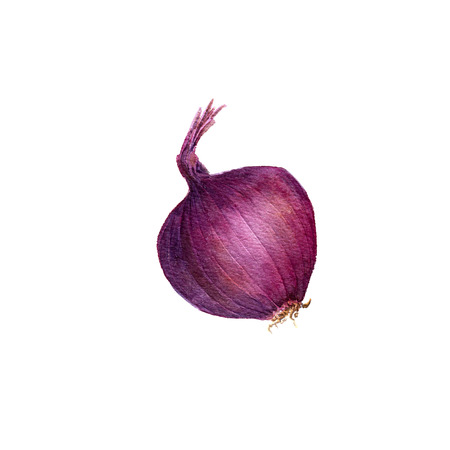 flavoring: isolated purple watercolor onion at white background, hand drawn watercolor illustration Stock Photo