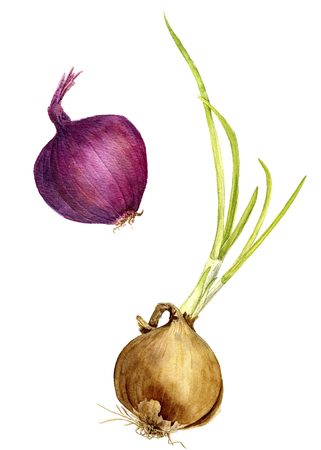 unpeeled: isolated red and yellow onion with green leaves drawing by watercolor, hand drawn watercolor illustration