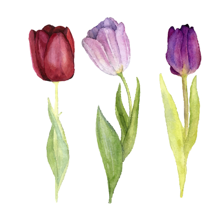 tulips isolated on white background: vector watercolor tulips with leaves, hand drawn isolated flowers at white background, vector illustration Illustration
