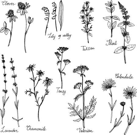 piante medicinali disegnati a mano, insieme a base di erbe, schizzo illustrazione vettoriale Vettoriali