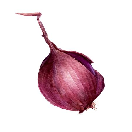 flavoring: vector isolated purple watercolor onion at white background, hand drawn watercolor illustration
