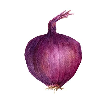 unpeeled: vector isolated purple watercolor onion at white background, hand drawn watercolor illustration