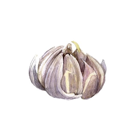 unpeeled: watercolor drwaing garlic isolated at white background, hand drawn watercolor illustration