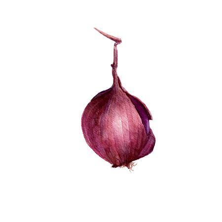 unpeeled: isolated purple watercolor onion at white background, hand drawn watercolor illustration Stock Photo