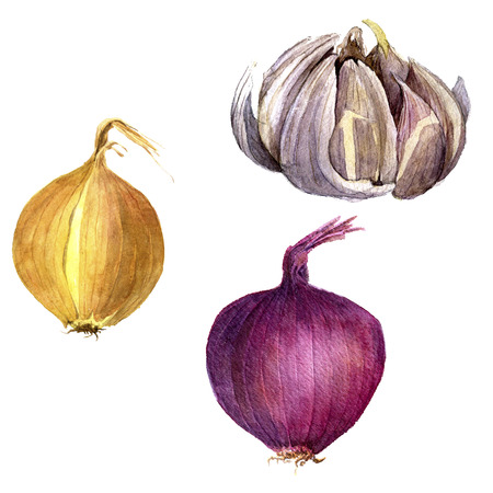 unpeeled: isolated red onion, yellow onion and garlic drawing by watercolor at white background, hand drawn watercolor illustration
