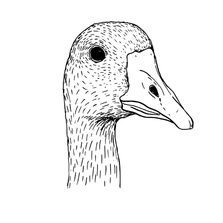 fowl: head of goose,hand drawn duck head,artistic ink drawing illustration of fowl