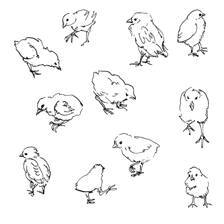 chiken: sketch of chiks, ink drawing birds, hand drawn vector illustration, line sketch