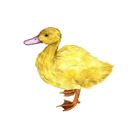 duckling: vector watercolor drawing duckling,hand drawn cute little duck,artistic painting illustration of fowl