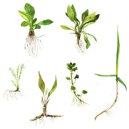 raices de plantas: conjunto de ilustración de la acuarela dibujo flores silvestres, hierbas y la hierba con hojas y raíces, plantas silvestres, ilustración botánica pintado en el estilo vintage, color de dibujo conjunto floral, dibujado a mano Foto de archivo