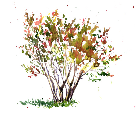shrub: cherry blossom tree drawing by watercolor, aquarelle sketch of blooming shrub, painting garden tree, hand drawn art background