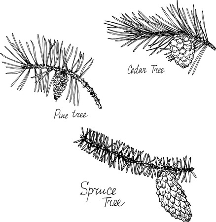 pine tree branch: hand drawn branches of conifers, pine tree branch, pine tree branch and spruce tree branch with needles and cones, plants set, sketch vector illustration