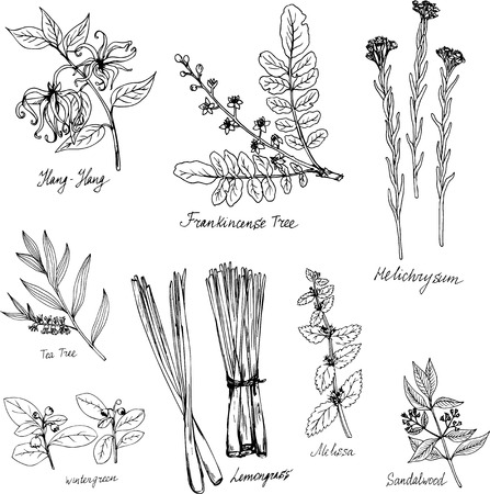 aromatic: hand drawn medical and aromatic plants, herbal set, sketch vector illustration