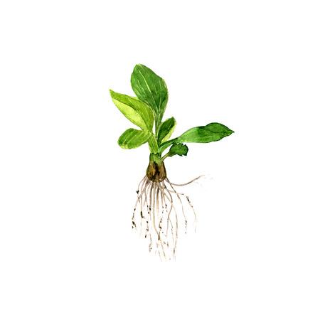 raices de plantas: acuarela dibujo planta silvestre con hojas y raíces, hierbas silvestres pintado, ejemplo botánico en el estilo vintage, color dibujo elemento floral aislada, dibujado a mano ilustración botánica