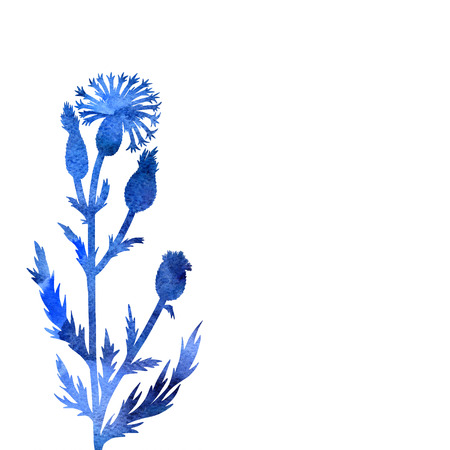 cornflower: cornflower plant drawing in watercolor, floral composition with wild plant, drawing floral card, artistic painting background, hand drawn  illustration