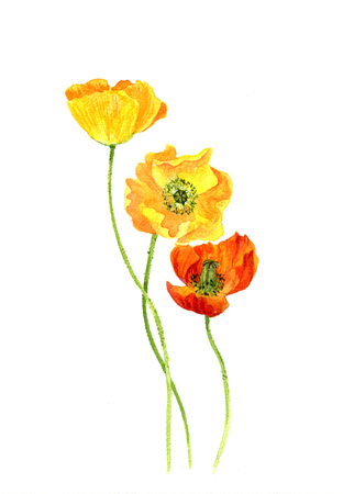 field flowers: watercolor drawing flowers of yellow poppies, painted wild plants, botanical illustration in vintage style, color drawing floral composition, hand drawn illustration