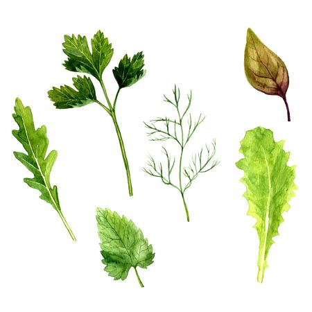 potherb: watercolor green potherb, leaves of parsley and arugula,dill palnt, mint and basil, set for salad, hand drawn illusttration