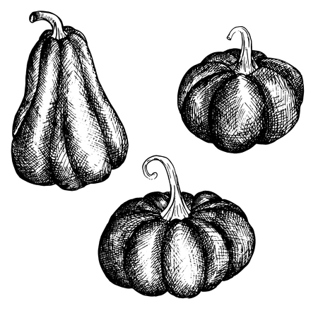 ink drawing: vector ink drawing isolated pumpkins, vintage vegetables,hand drawn illustration Illustration