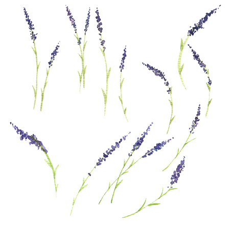 hand drawn lavender set, blooming plants, blue flowers, watercolor illustration