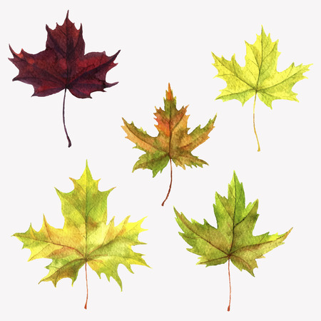 vector set of realistic autumn watercolor colorful leaves of maple tree, hand drawn isolated natural design elements Illustration