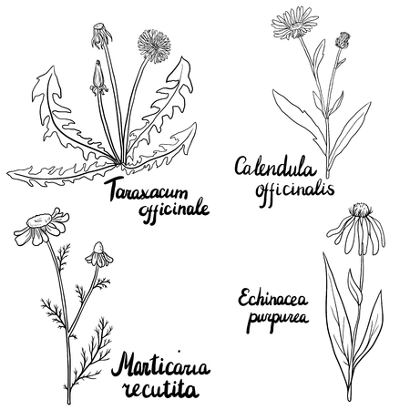 calendula: vector set of hand drawn medical herbs, dandelion palnt, Echinacea, chamomile and calendula flowers, isolated floral elements