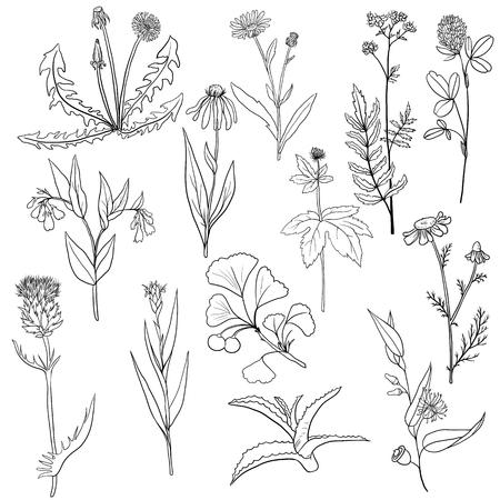 calendula: vector set of medical plants Illustration