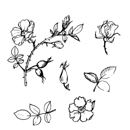wild rose: vector wild rose tree branch with leaves and berries Illustration
