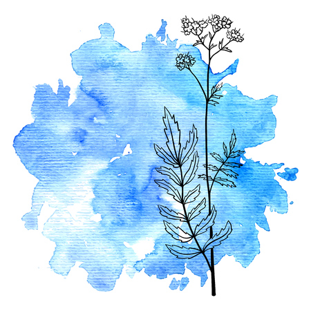 flower of valerian at watercolor background