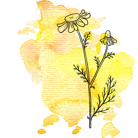 chamomile flower at watercolor background