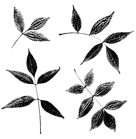 tree isolated: Set of ash leaves silhouettes